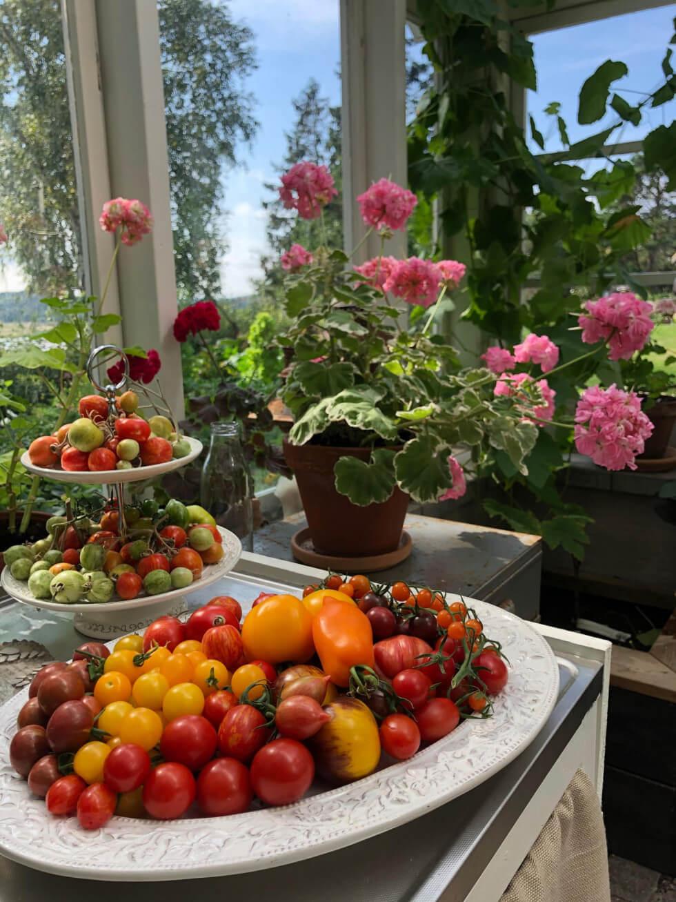Tomater i växthus