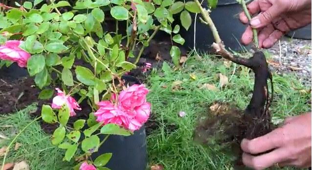 Krukodlad och barrotad ros