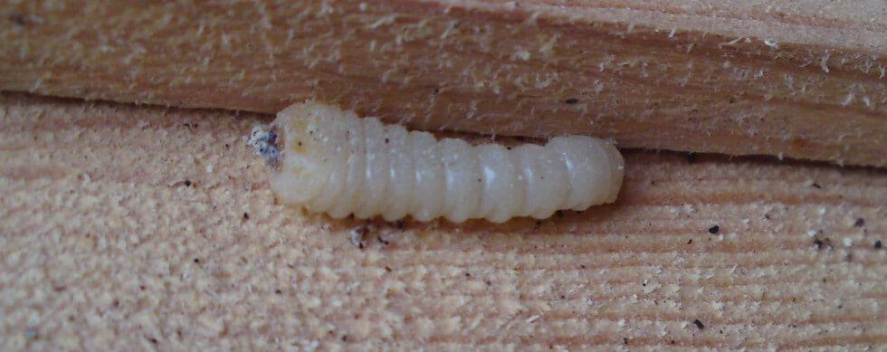 larv av blåhjon