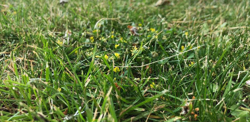 gräsmatta närbild