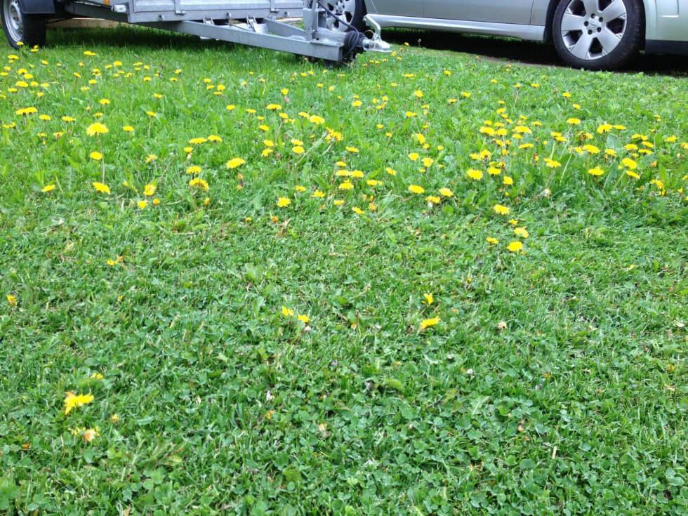Maskrosor i gräsmatta