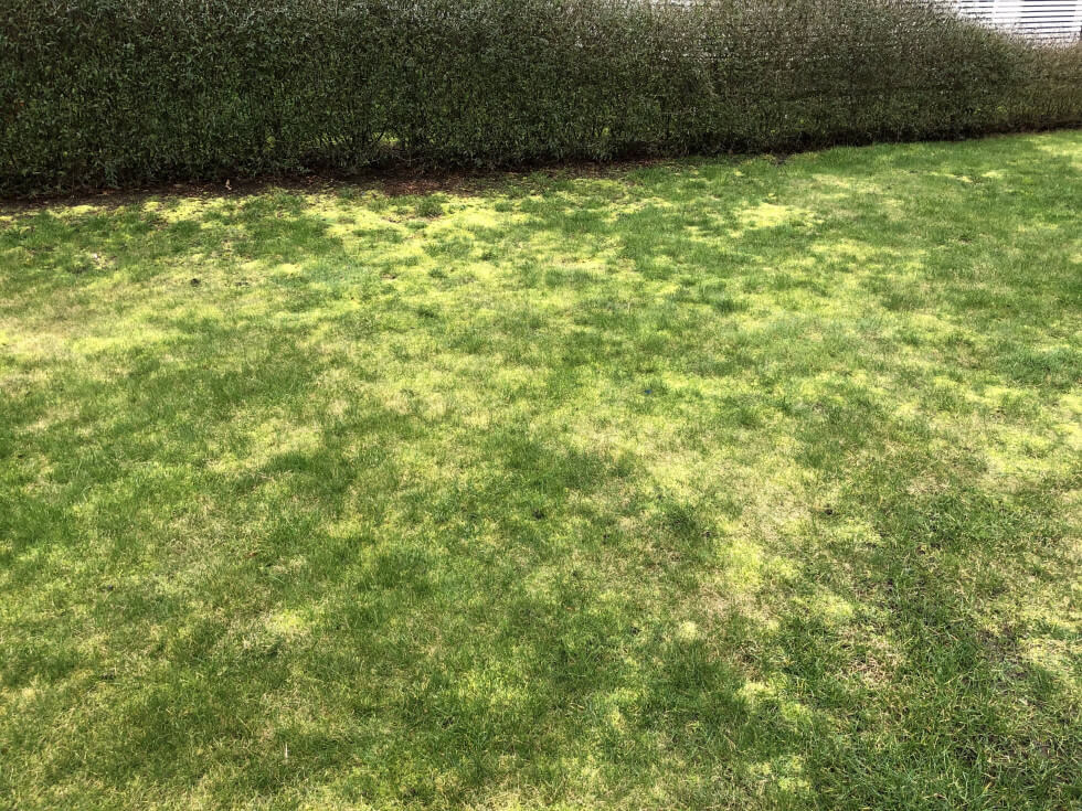 Mossa i gräsmattan
