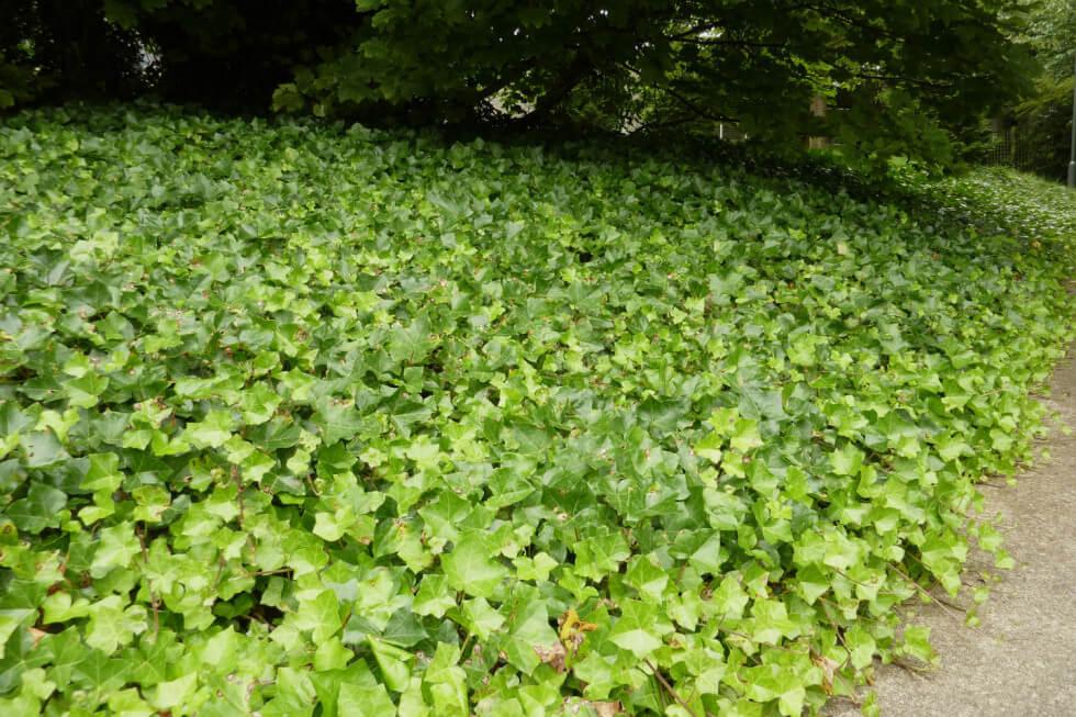 Murgröna är en effektiv vintergrön marktäckare som kan ersätta delar av gräsmattan. Foto: Pinterest