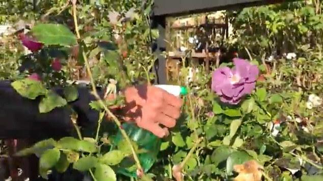 Spraya rosorna