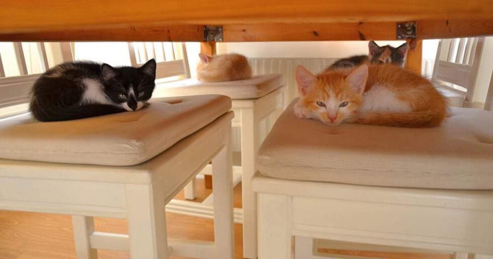 Katter på stolar