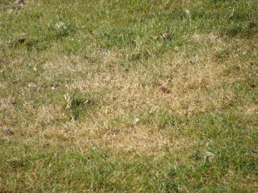Torrfläckar gräsmatta